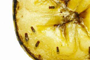 Cómo Matar Moscas de la Fruta Usando 3 Maneras